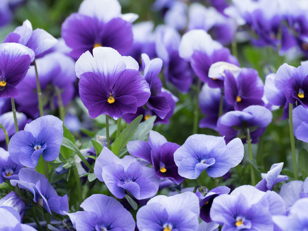 Beautiful blue-violet pansy in the flower bed