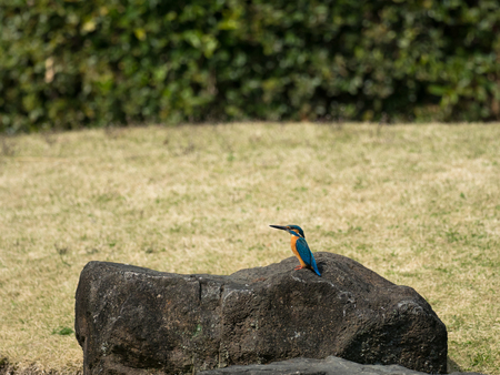 Fearless kingfishers male on the stone