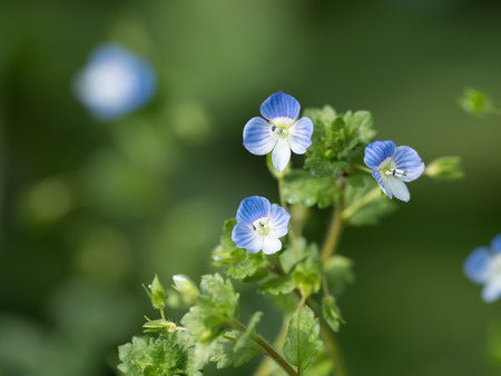 Pretty small Persian speedwell in spring field Stock Photo