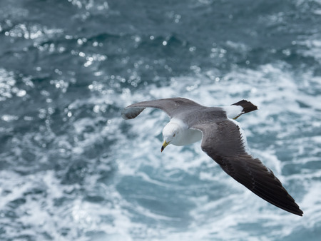 Black-tailed gull fly over the sea Stock Photo