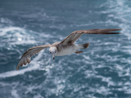 Young black-tailed gull fly over the sea Banco de Imagens - 81119465