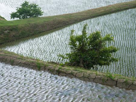 Rice field is  beautiful originallandscape of Japan
