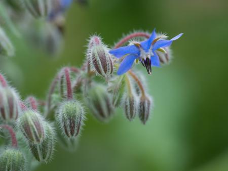 初夏の庭のバーリッジの花とつぼみ