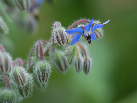 Flowers and Buds of Borage in the early summer garden Stock Photo