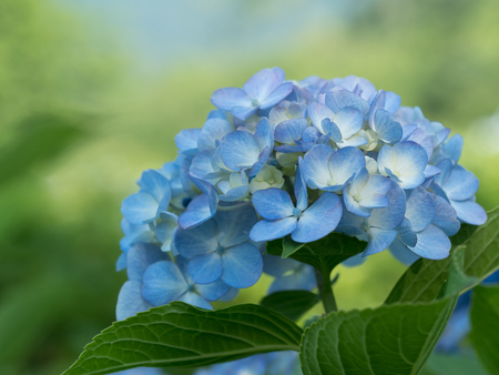 Beautiful blue hydrangea is blooming in the summer forest