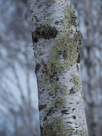 White birch in winter plateau Stock Photo