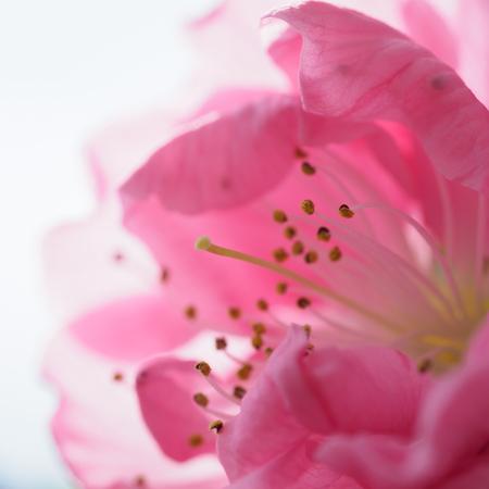 Beautiful petals of gentle pink Hana peach in spring 写真素材