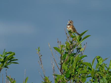 Chestnut-eared bunting singing in summer of in Hokkaido in Japan 版權商用圖片