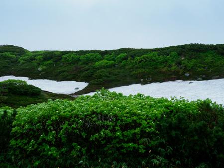 Remaining snow of Daisetsuzan and white alpine plants in hokkaido in Japan