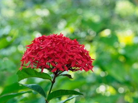 Beautiful red Chinese Ixora