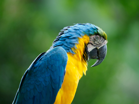 Large and beautiful Blue and yellow Macaw