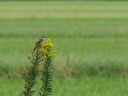 Male Bull-headed shrike in the autumn grassland