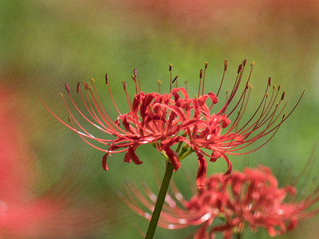 Fiery Red Lycoris Archivio Fotografico