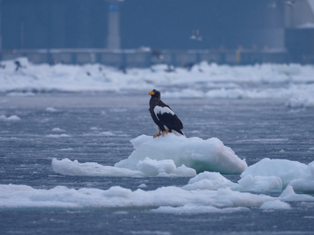Eagle of Rausu Harbor in winter in Hokkaido, Japan