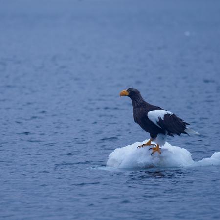 Eagle of Rausu Harbor in winter in Hokkaido, Japan oziro Stok Fotoğraf