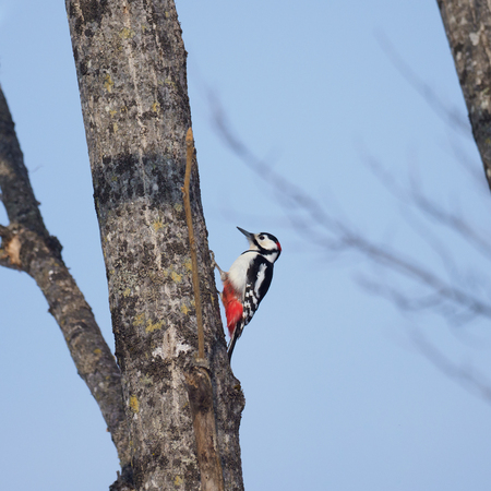 Great Spotted Woodpecker on the tree branch