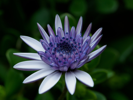 Beautifully blooming Osteospermum in flower bed, Stock Photo
