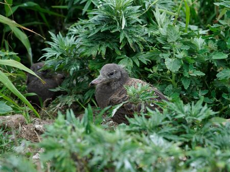 Black-tailed gull of child hiding in green grass