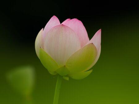Beautiful pastel pink lotus flower is blooming