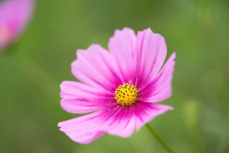 Lovely pink cosmos is  blooming