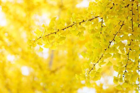 Yellow leafed ginkgo in autumn  japan