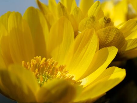 Far East Amur adonis blooming in early spring in Japan, Stock Photo