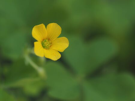 Yellow wood sorrel blooms in the field