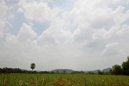 Baby sugar cane farmland photo
