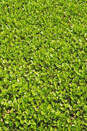 many Water Hyacinth cover a pond at Thailand Stock Photo - 13200647