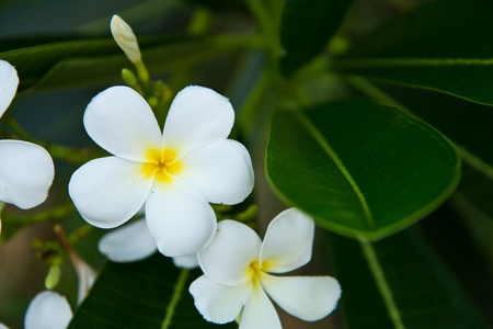 Frangipani tropical flowers from deciduous tree, plumeria Stock Photo - 13231268