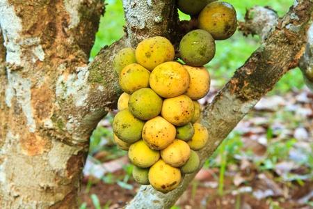 Thai native fruit name in thai is  Long Kong  photo