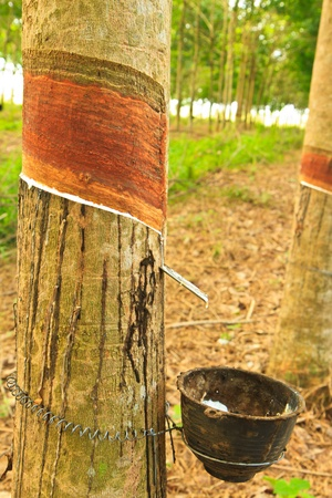 Milk of rubber tree flows into a wooden bowl   Thailand