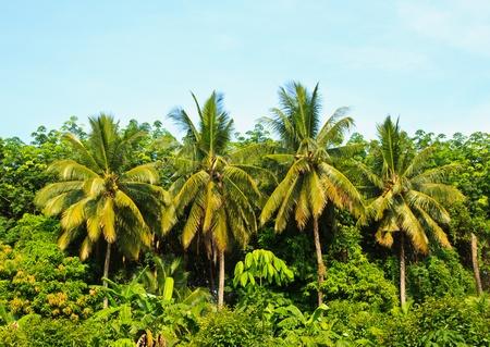 coconut  trees Stock Photo - 13324974
