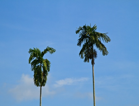 Betel Nut or Areca Nut  Pinang Palm  Plantation on sky photo