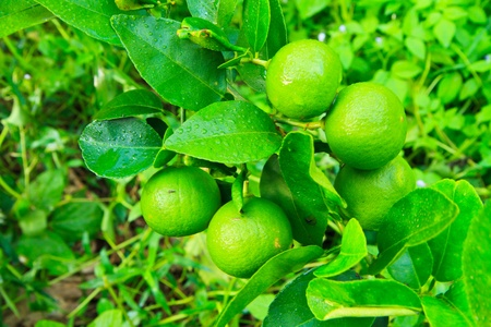 lemon tree photo