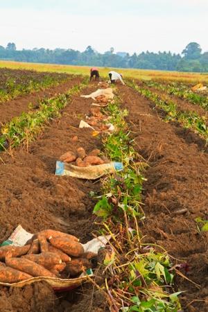 they are harvesting sweet potato plants