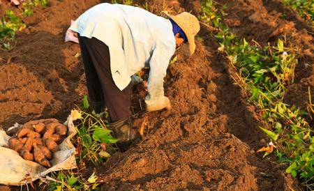 she is harvesting sweet potato plants