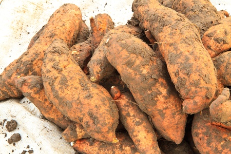 sweet potato ,harvest