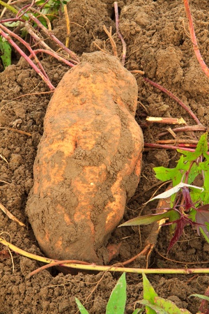 sweet potato ,harvest photo