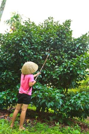 she is harvesting Mangosteen Thai fruit , Garcinia mangostana L
