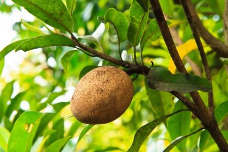 La fruta del n�spero, tropical Foto de archivo - 13358927