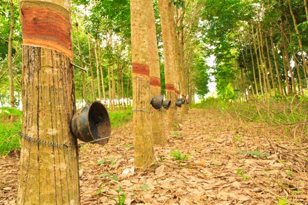 rubber trees and cups photo