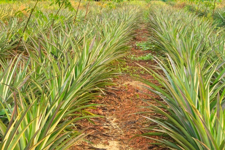 Pineapple or  Ananas comosus  under rows of rubber tree or  Hevea brasiliensis   photo