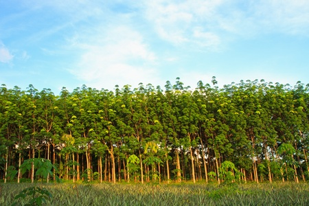 Para rubber tree garden in south of Thailand photo