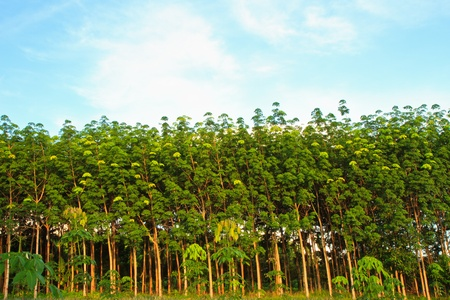 rubber plant: Para rubber tree garden in south of Thailand