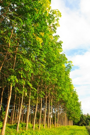 Para rubber tree garden in south of Thailand photo
