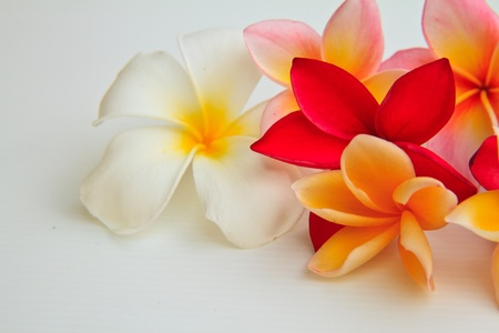 flores exoticas: flor de Plumeria aislados sobre fondo blanco