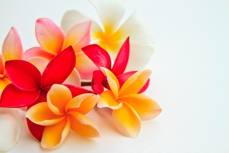 tropical frame: flower plumeria isolated on white background