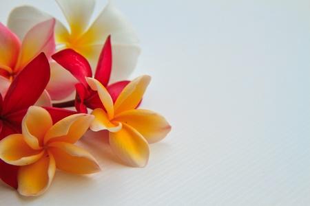 flower plumeria isolated on white background