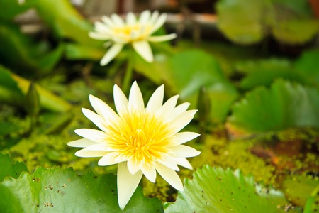 white lotus from Thailand Stock Photo - 13632286